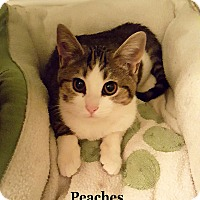 Adopt A Pet :: Peaches - Bentonville, AR