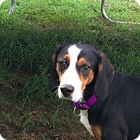 Adopt A Pet :: Buddy - Fredericksburg, VA