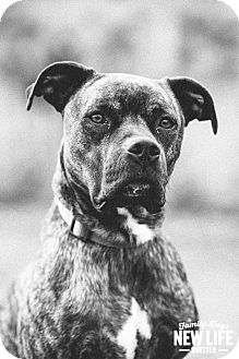 Boxer/Pit Bull Terrier Mix Dog for adoption in Portland, Oregon - Rocky (foster)