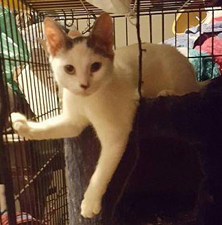 American Shorthair Kitten for adoption in Lyons, Illinois - Farley