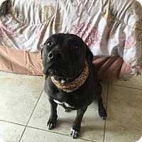 Pit Bull Terrier/Labrador Retriever Mix Dog for adoption in BROOKSVILLE, Florida - STELLA