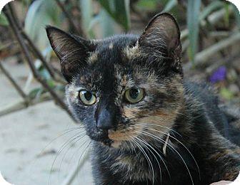 Domestic Shorthair Kitten for adoption in Ocean Springs, Mississippi - Veruca
