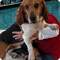 Beagle Dog for adoption in House Springs, Missouri - Browning