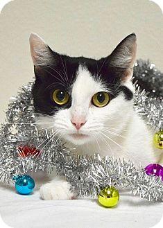 Domestic Shorthair Cat for adoption in Dublin, California - Talia