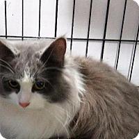 Adopt A Pet :: KitKat - Van Wert, OH