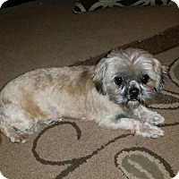 Shih Tzu Dog for adoption in Silverdale, Washington - Ethel