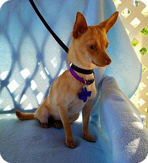 Chihuahua Mix Puppy for adoption in Hamilton, Ontario - Avocado