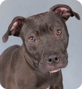 American Staffordshire Terrier/American Pit Bull Terrier Mix Dog for adoption in Chicago, Illinois - Mink