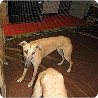 Adopt A Pet :: no name girl - Vidor, TX