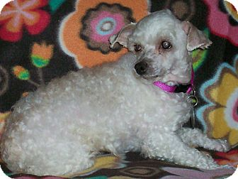 Poodle (Toy or Tea Cup) Dog for adoption in Sullivan, Missouri - Macaroon