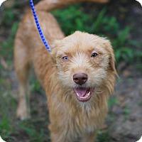 Adopt A Pet :: Lulu - Humble, TX