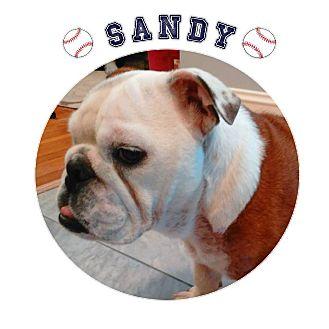 English Bulldog Mix Puppy for adoption in Park Ridge, Illinois - Sandy