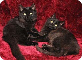Domestic Mediumhair Kitten for adoption in Merrifield, Virginia - Lotus