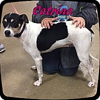Jack Russell Terrier Mix Dog for adoption in Ahoskie, North Carolina - Catrina