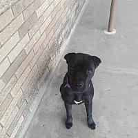 Adopt A Pet :: Charley - El Paso, TX