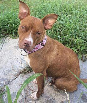 American Staffordshire Terrier Mix Dog for adoption in THREE RIVERS, Massachusetts - Nala