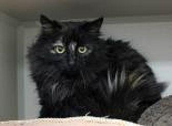 Domestic Longhair Kitten for adoption in Temple, Pennsylvania - Emily