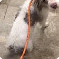 Adopt A Pet :: Copper - Marion, OH