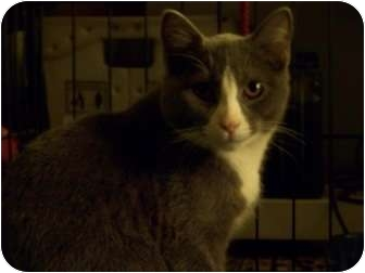 Domestic Shorthair Cat for adoption in Putnam Valley, New York - Junior