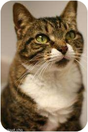 Domestic Shorthair Cat for adoption in Gainesville, Florida - Carmello
