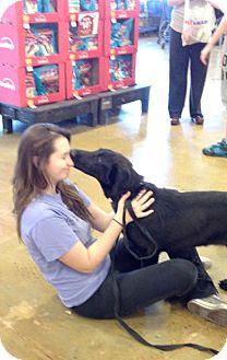 Dutch Shepherd/Carolina Dog Mix Puppy for adoption in Danbury, Connecticut - Adolf GREAT FAMILY DOG
