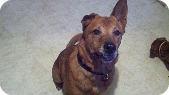 Labrador Retriever/Chow Chow Mix Dog for adoption in Tavares, Florida - Capt. Jack