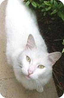 Oriental Cat for adoption in Miami, Florida - Peter