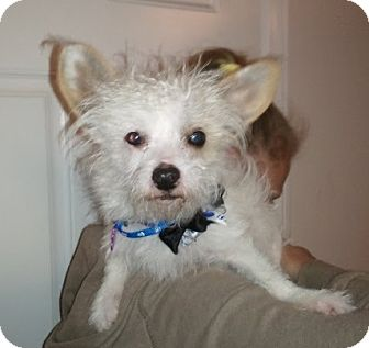 Maltese/Chihuahua Mix Dog for adoption in Encinitas, California - Gizmo