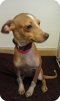 Chihuahua Mix Dog for adoption in Waldorf, Maryland - Lila #374