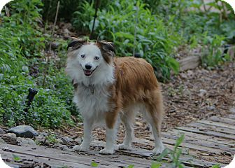 Australian Shepherd/Corgi Mix Dog for adoption in Minneapolis, Minnesota - Jasper