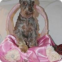 Adopt A Pet :: Mocha chocolate - North Benton, OH
