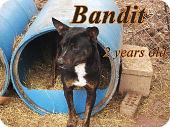 Australian Cattle Dog/Australian Kelpie Mix Dog for adoption in Boaz, Alabama - Bandit