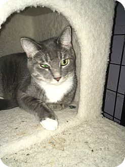Domestic Shorthair Cat for adoption in Tracy, California - Liam