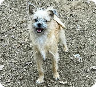 Shih Tzu/Chihuahua Mix Dog for adoption in Little Rock, Arkansas - Boo
