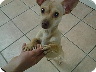 Chihuahua Mix Dog for adoption in Worcester, Massachusetts - Sam