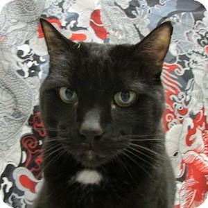 Domestic Shorthair Cat for adoption in Gilbert, Arizona - Louie