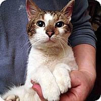 Adopt A Pet :: Valentino - Brooklyn, NY