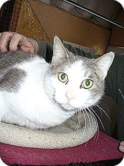 Domestic Shorthair Cat for adoption in Bentonville, Arkansas - Sabrina