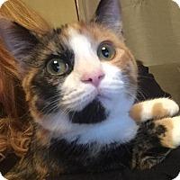 Adopt A Pet :: Plum - St. Louis, MO