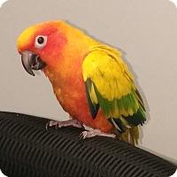 Adopt A Pet :: Sherbet - Lenexa, KS