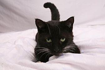 Domestic Shorthair Cat for adoption in Elizabethtown, Pennsylvania - Tink