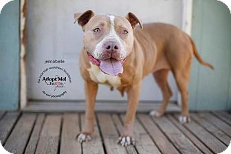 American Pit Bull Terrier/Labrador Retriever Mix Dog for adoption in Toluca Lake, California - Jennibelle