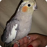 Adopt A Pet :: Pie - St. Louis, MO