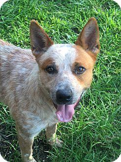 Australian Cattle Dog/Blue Heeler Mix Dog for adoption in Waggaman, Louisiana - Jake