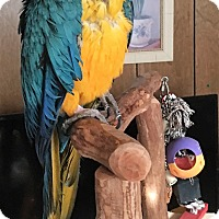 Macaw for adoption in Lenexa, Kansas - Bud