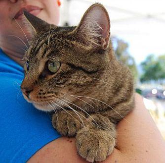 Domestic Shorthair Cat for adoption in Pena Blanca, New Mexico - BHINDI