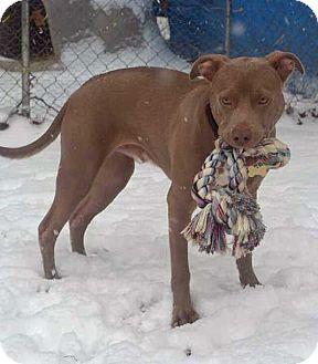 American Staffordshire Terrier/Weimaraner Mix Dog for adoption in Koontz Lake, Indiana - Willard