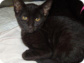Domestic Shorthair Cat for adoption in Medina, Ohio - Clint