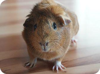 Guinea Pig for adoption in Brooklyn Park, Minnesota - Zucca