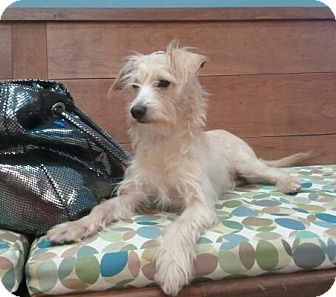 Westie, West Highland White Terrier/Poodle (Miniature) Mix Puppy for adoption in Encinitas, California - Sammy